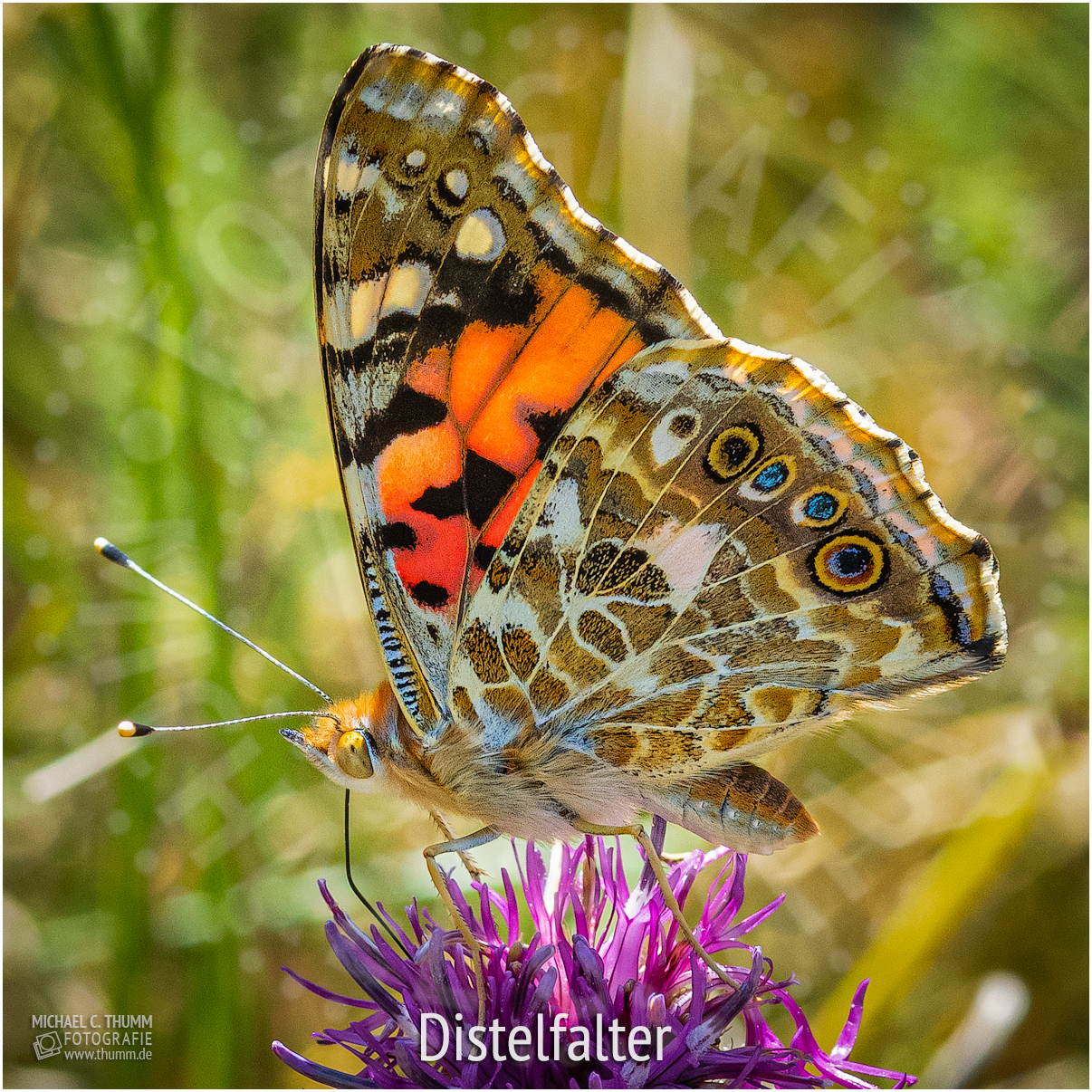 Distelfalter - © Michael C. Thumm
